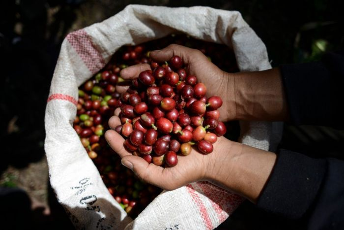 This picture taken on March 11, 2018 shows coffee beans on a farmer's hands during the harvest in Gayo highland, Takengon district, Aceh province