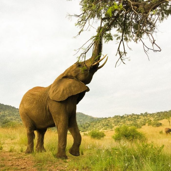 Elephant in an open field reaching with its trunk to eat the leaves on a tree