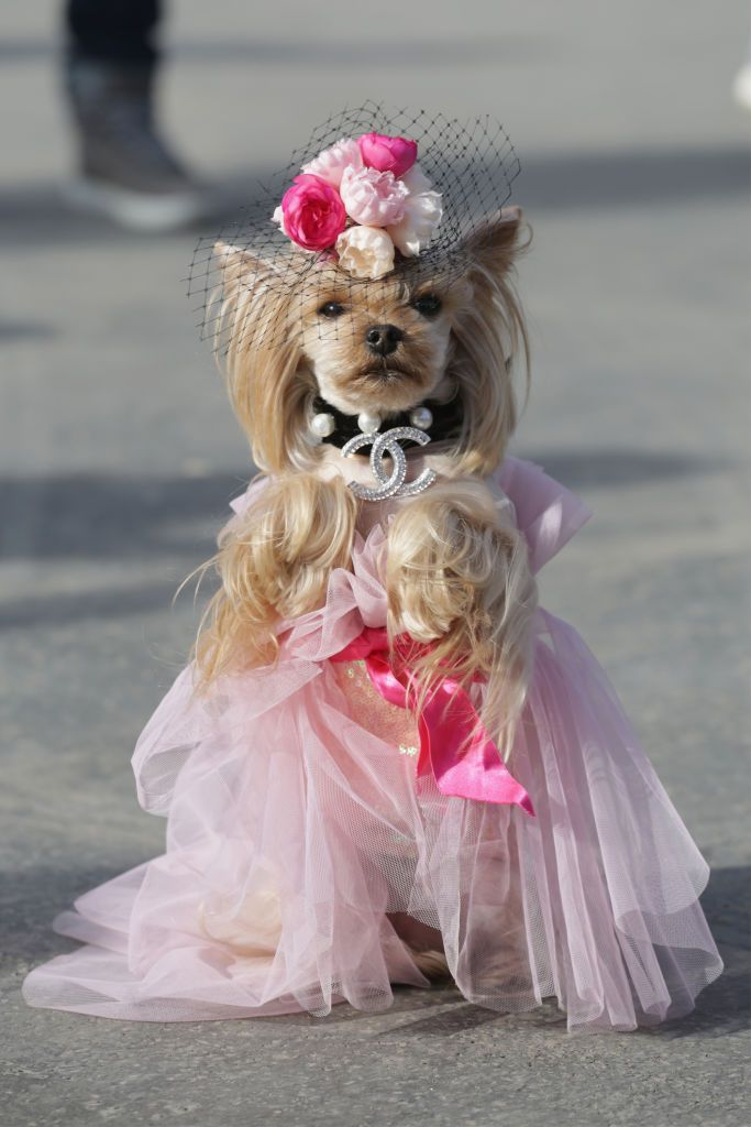 Yorkshire terrier dog wearing a Chanel collar and pink tulle dress