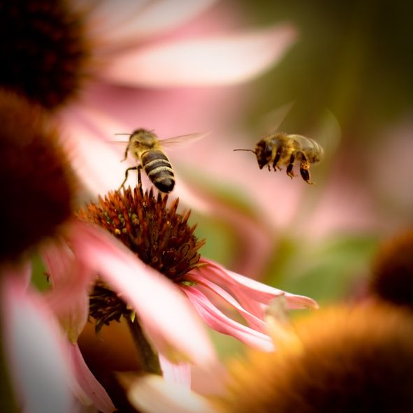 Two bees flying near pink flowers