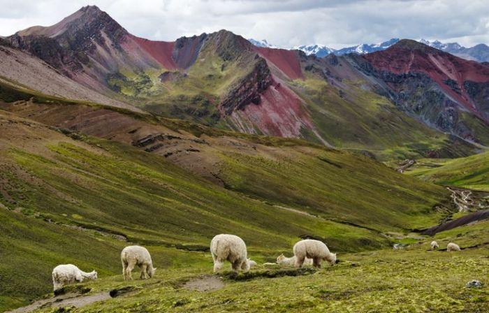 Alpacas in the Rainbow Mountain